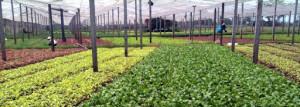 Dự án vùng trồng rau sạch Tiền Lệ (Hoài Đức, Hà Nội) của Bác Tôm.
