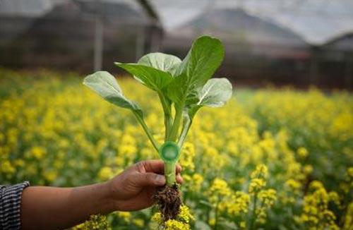 Cải ngồng, một trong những loại rau mà nhóm đang trồng.